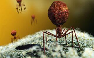 Бактериофаги — эффективный метод уничтожения золотистого стафилококка