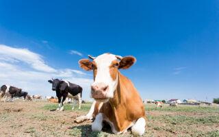 Чем опасна коровья оспа для человека? Симптомы, лечение и профилактика болезни