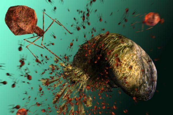 Пожирание стафилококка бактериофагом
