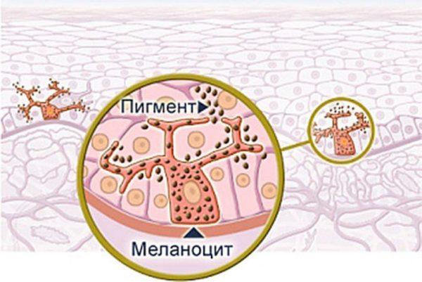 Меланоциты в клетках