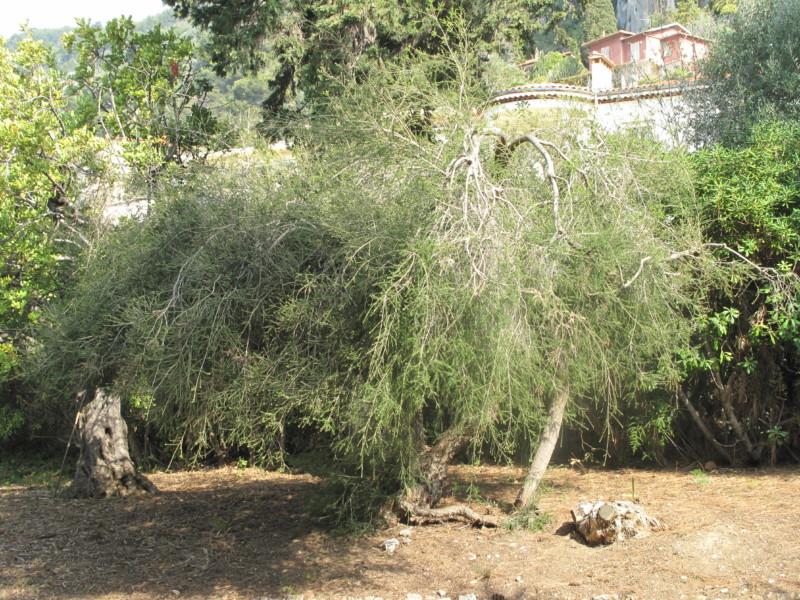 Растение Melaleuca alternifolia